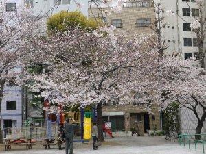 桜 越前堀公園
