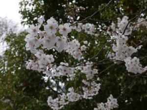 桜アップ 越前堀公園