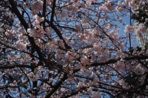 永代橋 大寒桜