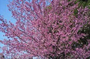 永代橋 交番横の寒緋桜